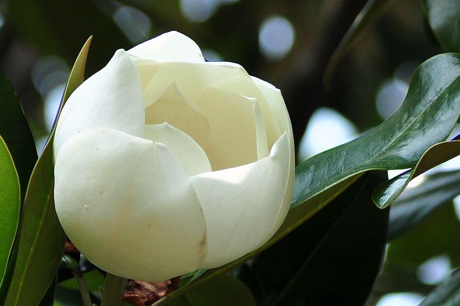 广玉兰富有光泽的叶子和优雅的花朵